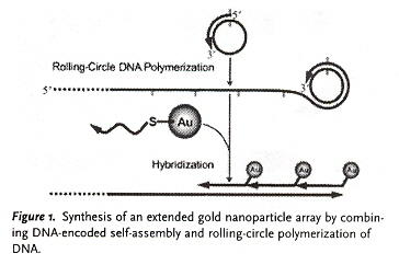 Rolling-Circle DNA Self-Assembly of AuNP