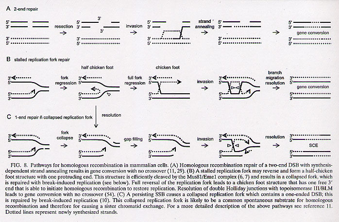 DNA replication damage-repair