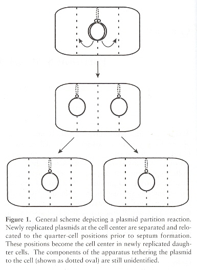 Plasmid Partitioning Foci