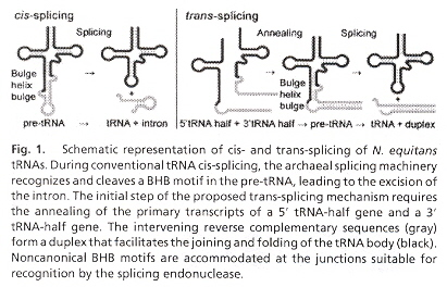 tRNA cis- and trans-splicing