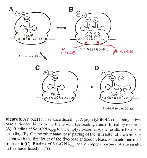 Ribosomal P and A frameshifting