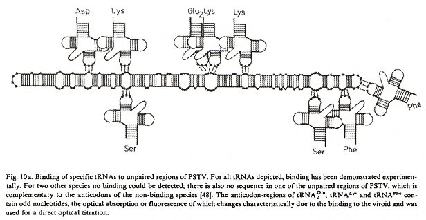 tRNA binding at viroid codons