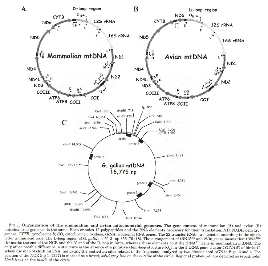 mtDNA structures are conserved