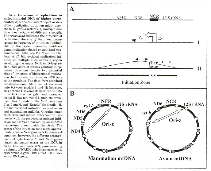 mtDNA Replication Initiation